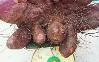 Củ khoai mỡ 21 kg ở Đồng Nai